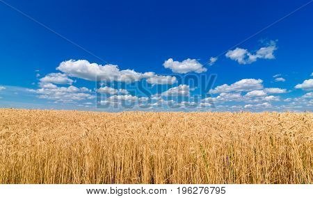 Golden wheat in the field in sunlight with blue sky and clouds free space. Spikes of ripe wheat field under blue sky background. Agriculture agronomy and farming background. Harvest concept poster