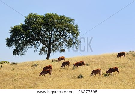 Countryside landscape. Cow and calves grazing grass on farmland field between cork oak trees at sunset. Evora Alentejo Portugal