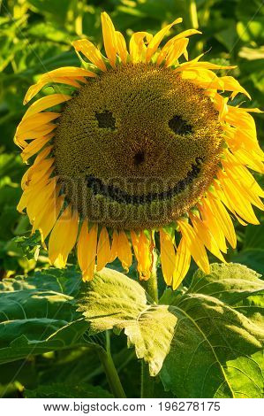 Sunflower in a field with a smiling face.
