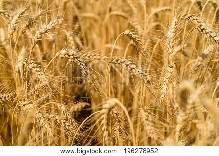 Golden Wheat In The Field, Closeup, Selective Focus. Spikes Of Ripe Wheat Field Background, Free Spa