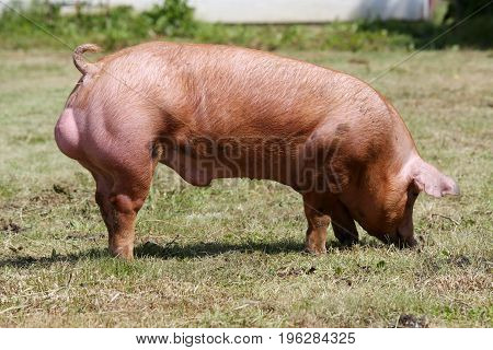 Domestic pig grazing on animal farm summertime