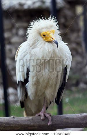 Egyptian Vulture At The Zoo