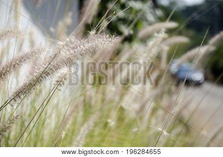 Poaceae or Graminea plant in gardenat outdoor