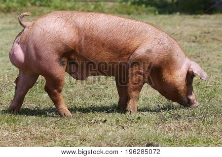 Side view photo of young pig near the farm rural scenic