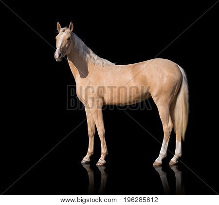 Exterior of  palomino horse with two white legs and white line of the face isolated on black background