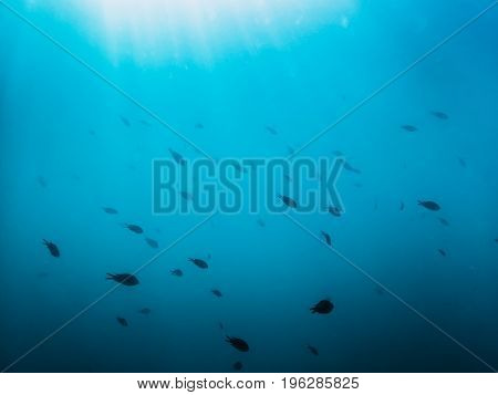 Black fishes in ocean. Underwater photo with sun rays