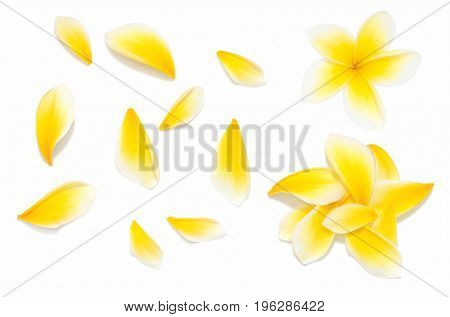 Yellow frangipani flower set with Petals on white background from different angles. Useful for design of wedding invitation or romantic style gift card