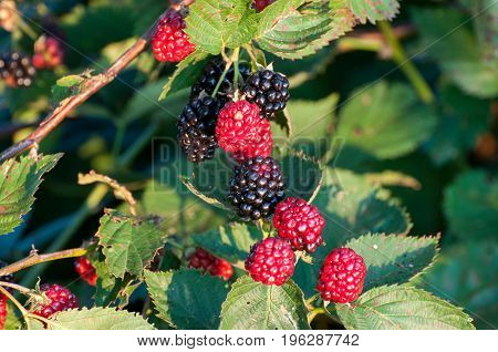 Blackberries ripen on the cane at a farm.