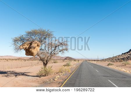 A camelthorn tree with a sociable weaver community nest on the road from the N14-road to the Onseepkans border post on the border of Namibia