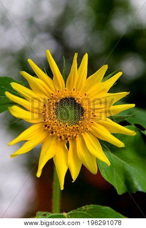 A flower of a sunflower with unripened seeds. Flora.