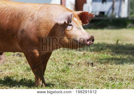 Side view photo of young pig near the farm rural scene summertime