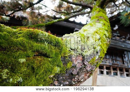 Mosses on tree branch, Mosses are small flowerless plants that typically grow in dense green clumps or mats, often in damp or shady locations.