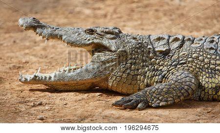 Closeup of marsh Crocodiles at nature reserve area