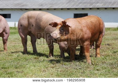Domestic female pigs grazing on animal farm summertime