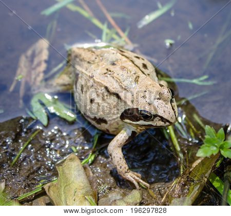 A pregnant frog in a warm pond awaiting delivery