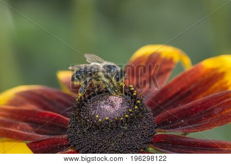 bee (apis mellifera) on a flower - close up