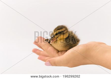 Funny Duckling Of A Wild Duck On A White Background