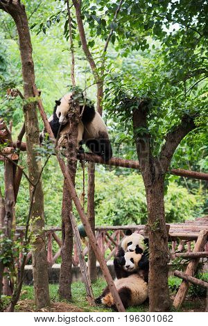 Four Young Giant Pandas Playing