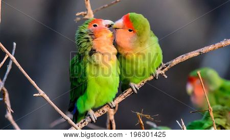 Two affectionate and romantic rosy faced lovebirds