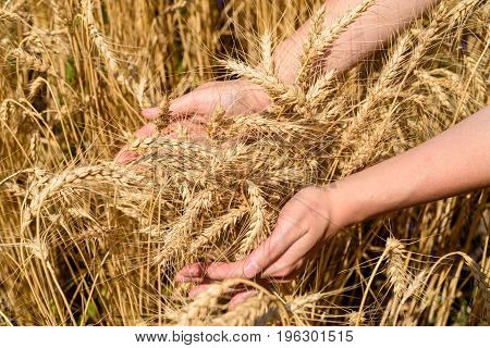 Girl's hand touching ripe wheat in field on summer day outdoors closeup. Agriculture agronomy and farming background free space. Harvest concept