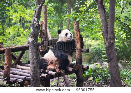 Giant Panda Playing With Wood In The Forest