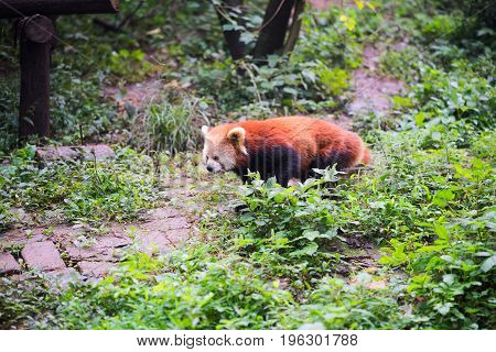 Red Panda Walking In The Forest