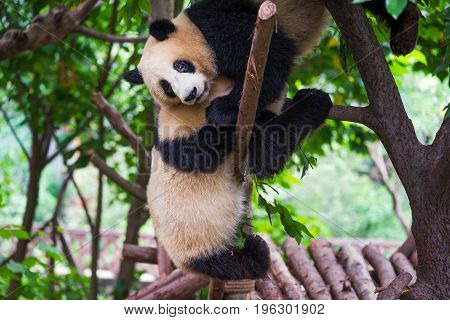 Tow Young Giant Pandas Playing Together In A Tree