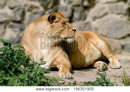 Image An animal is an adult lioness lying and staring.