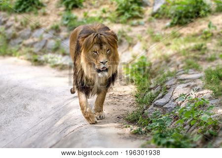 Image animal adult lion walks in the zoo