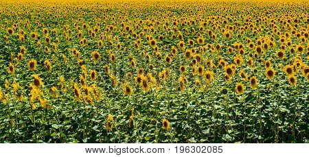 Field of blooming sunflowers background free space. Sunflower field copy space. Summer landscape. Agriculture agronomy and farming background. Harvest concept