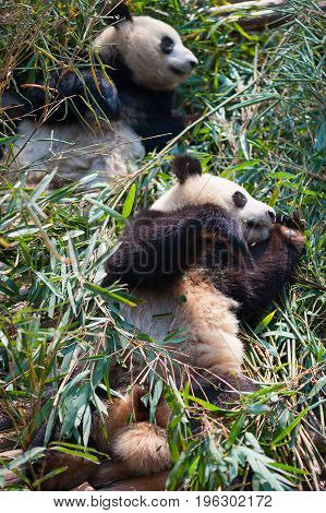 Two Giant Pandas Lying Down On Bamboo