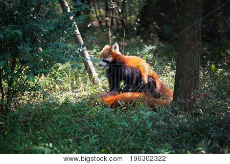 Two Red Pandas Playing In The Forest