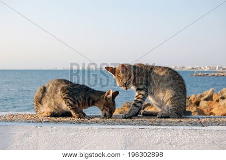 two wild cats play on the beach tunisia