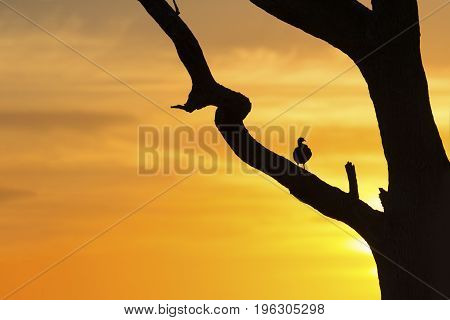 Silhouette of francolin on a dead tree at the sunrise