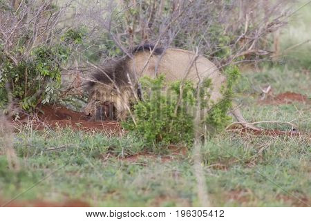 Old hungry male lion digs a warthog from its burrow in nature