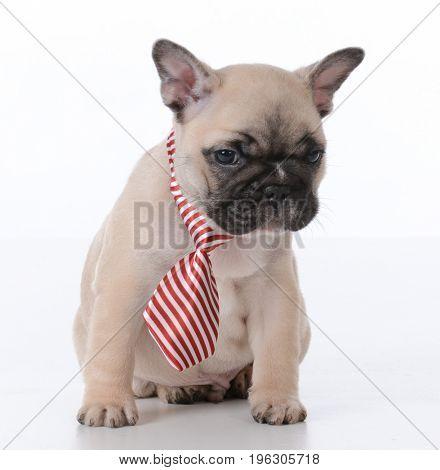 male french bulldog puppy wearing necktie on white background