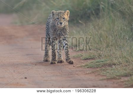 One Cheetah cub playing alone in early morning in a road