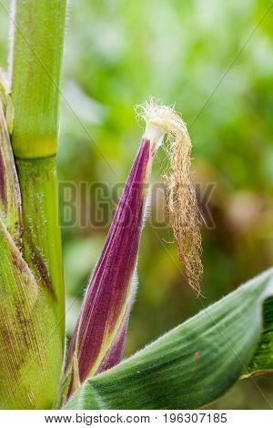 Corn cob (Zea mays) at organic corn cultivation field