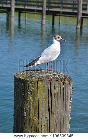 Seagull on wood in the water close up