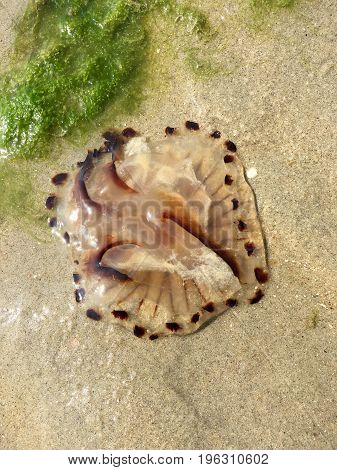 Jellyfish on beach at the North sea, found in Renesse, Schouwen-Duiveland, Netherlands in closeup