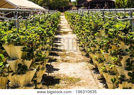 Rows Of Hanging Strawberry Plants For Sale