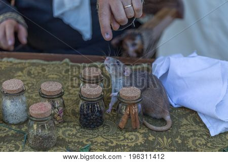 Cute funny rat on medieval wooden table with small flasks and its masters hands background.