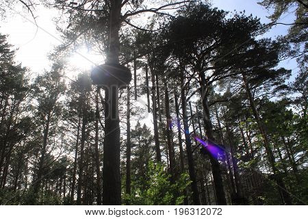 Forest Full Of Tall Trees With A Platform And The Sun Behind