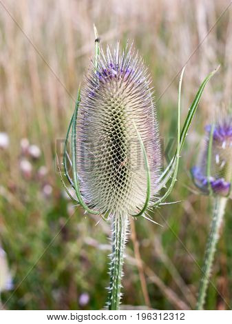 Full Grown Spiky Milk Thistle Spike Outside Close Up