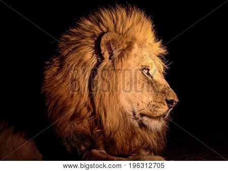 head shot of a  male lion at night