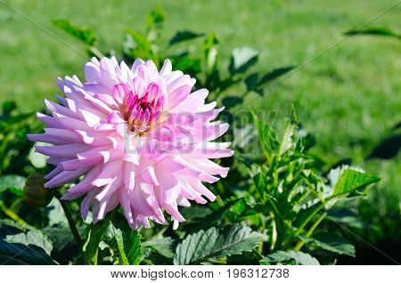 Dahlia on background of flowerbeds. Focus on flower. Shallow depth of field