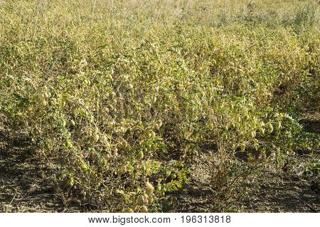 Chickpeas that have begun to dry up at harvest time, natural chickpeas in dry chickpeas,