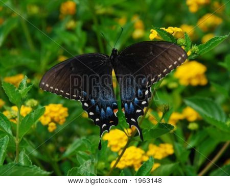 Black And Blue Butterly With Open Wings