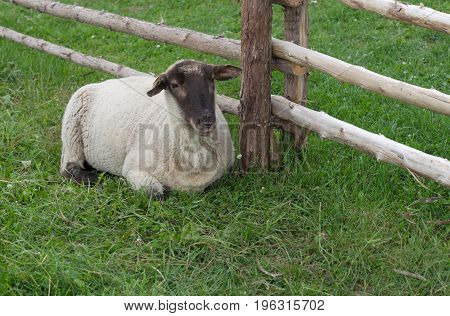 sheep lying down in green grass enclosure field domestic mammal agriculture