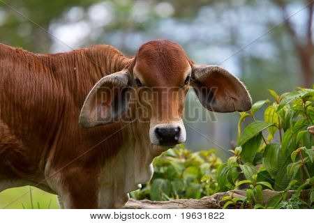A cow with large ears stares at the camera poster